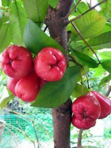 Rose-Apple-Seeds-Rare-Fruit-Seeds-For-Home-Garden-Rose-Apple-Tree-Seeds-Tasty