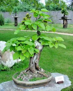 Tilia-tomentosa-Tilo-Plateado-50-semillas-Seeds