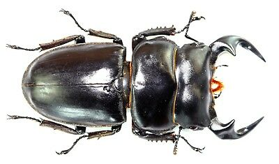 LUCANIDAE ODONTOLABIS SIVA from THAILAND COLEOPTERA