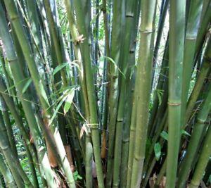 Intelligent Seedeo ® Grand épines Bambous Bambusa Arundinacea 60 Graines-afficher Le Titre D'origine Et Aide à La Digestion