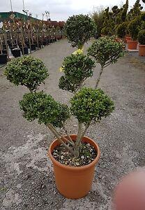 ilex crenata formbaum bonsai. Black Bedroom Furniture Sets. Home Design Ideas