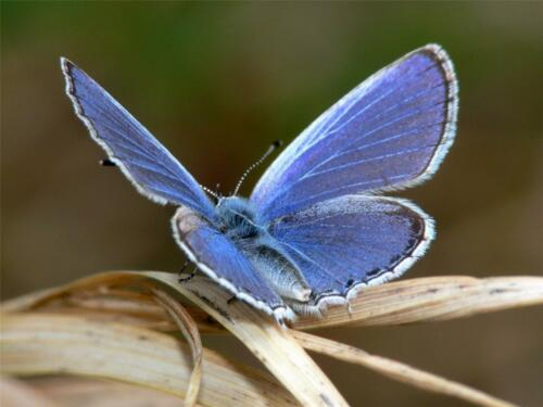 BLUE BUTTERFLY GLOSSY POSTER PICTURE PHOTO wings insect bug fly caterpillars 518