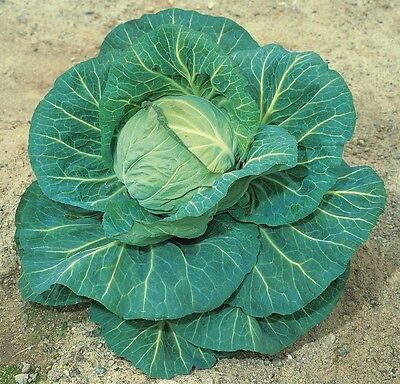 Intellective Vegetable - Cabbage - Spring Hero F1 - 50 Seeds
