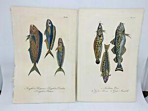 Original-Antique-Hand-Colored-Fish-Print-Lacepede1840-Plates-51-amp-63-Cuvier