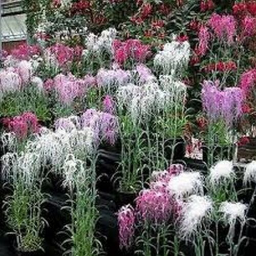 Dianthus Spooky Mix 100 Seeds