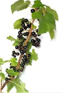 20-GOLDEN-CURRANT-SHRUB-Black-Fruit-Yellow-Flower-Ribes-Chrysobotrya-Aurea-Seeds