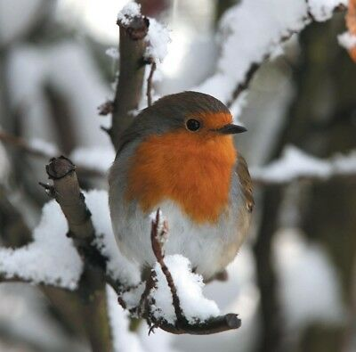 Christmas Blank Cards & Packs - Traditional Red Robin in Snow Bird  FREEPOST