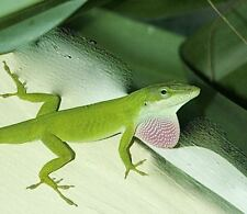 1 young Live Green Anole