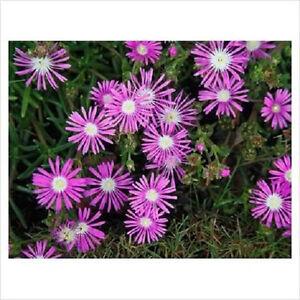 25-TABLE-MOUNTAIN-ICE-PLANT-Magenta-Fuchsia-Delosperma-Cooperi-Flower-Seeds