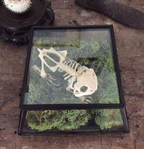 Veritable-Squelette-De-Grenouille-cabinet-de-curiosite-Taxidermie-Os-deco