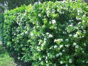 2 white star privet hedge plants flowering shrub 1 2 year old ebay image is loading 2 white star privet hedge plants flowering shrub mightylinksfo