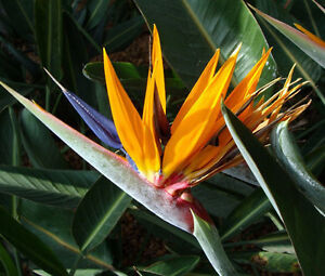 BIRD-OF-PARADISE-Strelitzia-Reginae-50-Bulk-Seeds