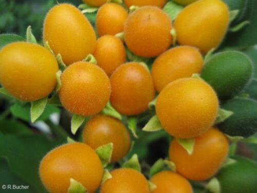 Aus den Früchten des Samtpfirsich kann man eine leckere Konfitüre zubereiten.