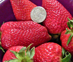 30-Giant-Strawberry-Plant-Seeds