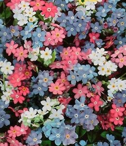 Forget me not seeds hybrids of white pink blue flowers easy to grow image is loading forget me not seeds hybrids of white pink mightylinksfo