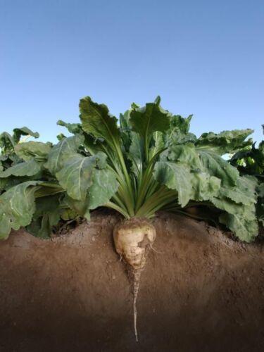 - 250,000 Graines BETTERAVE à SUCRE alimentaire parcelle Seed 25 lb Excellent Cerf Food plot environ 11.34 kg
