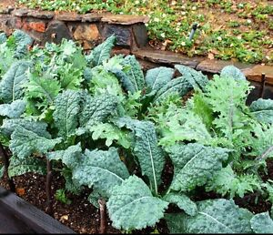 NON-GMO FREE SHIPPING! 500 PREMIER KALE SEEDS HEIRLOOM 2020