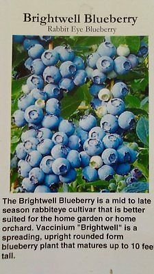 4/'-5/' Austin Blueberry Plant Sweet Healthy Blueberries Plants Amino Acids Berry