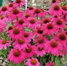 Echinacea PowWow Wild Berry Pint Plant FREE SHIP