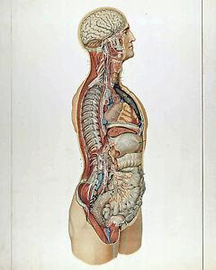 Vintage medical anatomy chart human organs illustration 8x10 canvas
