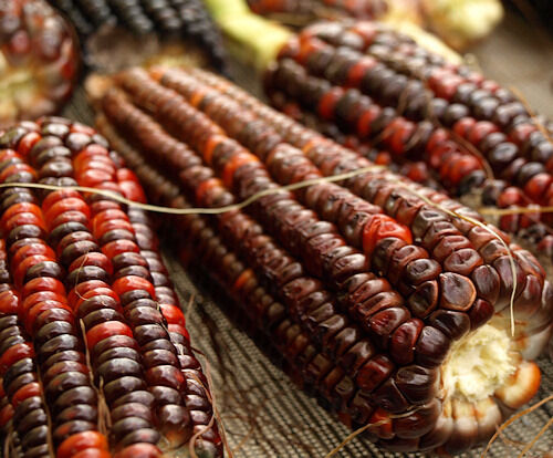 VEGETABLE  CORN BLOODY BUTCHER  30 FINEST SEEDS