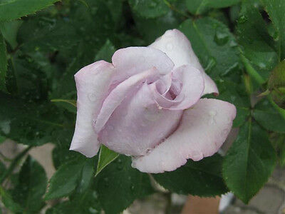 Lagerfield Rose Live Plant Bare Rooted