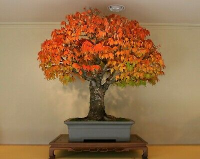 Liquidambar Styraciflua Red Sweet Gum Bonsai Tree Rare 10 Seeds Ebay