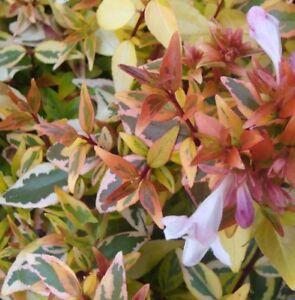 Kaleidoscope Abelia X Grandiflora Variegated Hardy Colourful Foliage