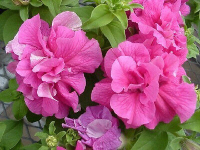 Petunia Seeds 50 Pelleted Seeds Double Cascade Pink