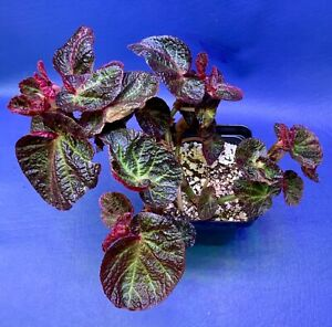 BEGONIA-MANUAS-SHOWN-IN-A-4-POT-TROPICAL-PLANT-1651