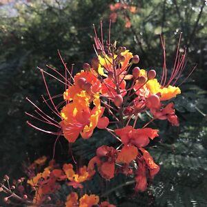 Red-Bird-of-Paradise-Plant-Seeds-Lot-of-10-Caesalpinia-pulcherrima-Desert-Shrub