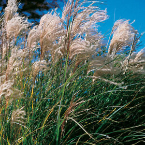 25 Miscanthus New Hybrids Ornamental Grasses Flower Seeds