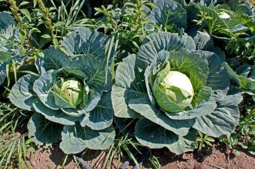 Cabbage Brunswick Non GMO Heirloom Garden Vegetable Seeds Sow No GMO® USA