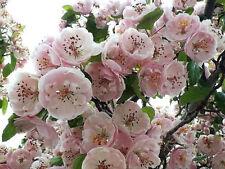 ENGLISH HAWTHORN TREE Edible Fruit Flower Mayflower Crataegus Laevigata Seeds