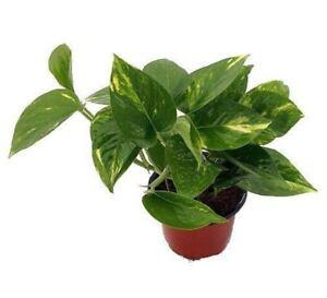 Golden-Devil-039-s-Ivy-Pothos-Plant-4-034-Pot-Live-Plant