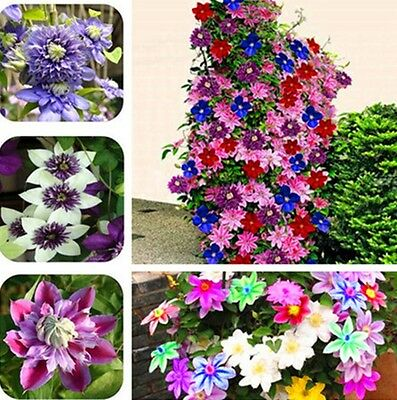 300 Bonsai Clematis seeds Wire Lotus Plant Seeds Multicolor Clematis