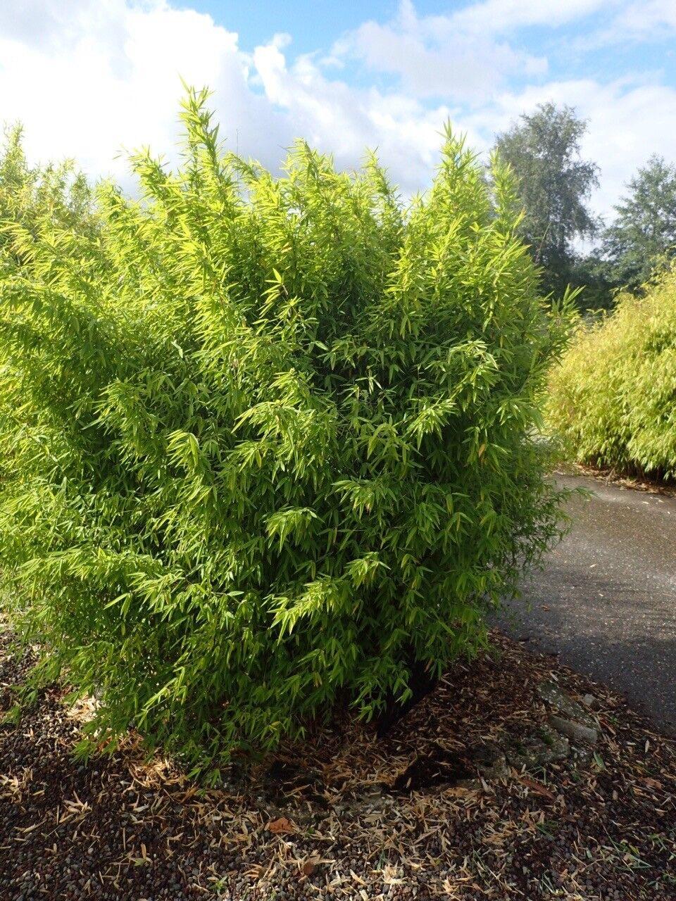1 x Fargesia NIT.  volcano ' 60-80cm XXL olla (jardín de bambú) c5 top variedad para Seto