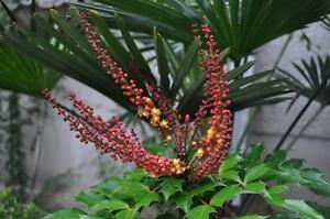10x graine Framboisier remontant framboise Rubus idaeus Red Raspberry 10 seeds