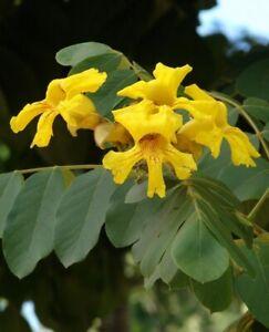 MéThodique Seedeo ® Jaune Trompetenbaum Markhamia Lutea 10 Graines-afficher Le Titre D'origine