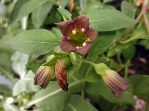 selten RARITÄT 20 Samen von Atropa acuminata Balladonna Indische Tollkirsche