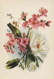 ANTIQUE SMALL WHITE DAHLIA PINK AZALEA FLOWER FLORAL BOTANICAL COLOR ART PRINT