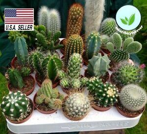 25-Seeds-MIX-cactus-succulent-EXOTIC-living-stones-desert-rock-USA-SELLER