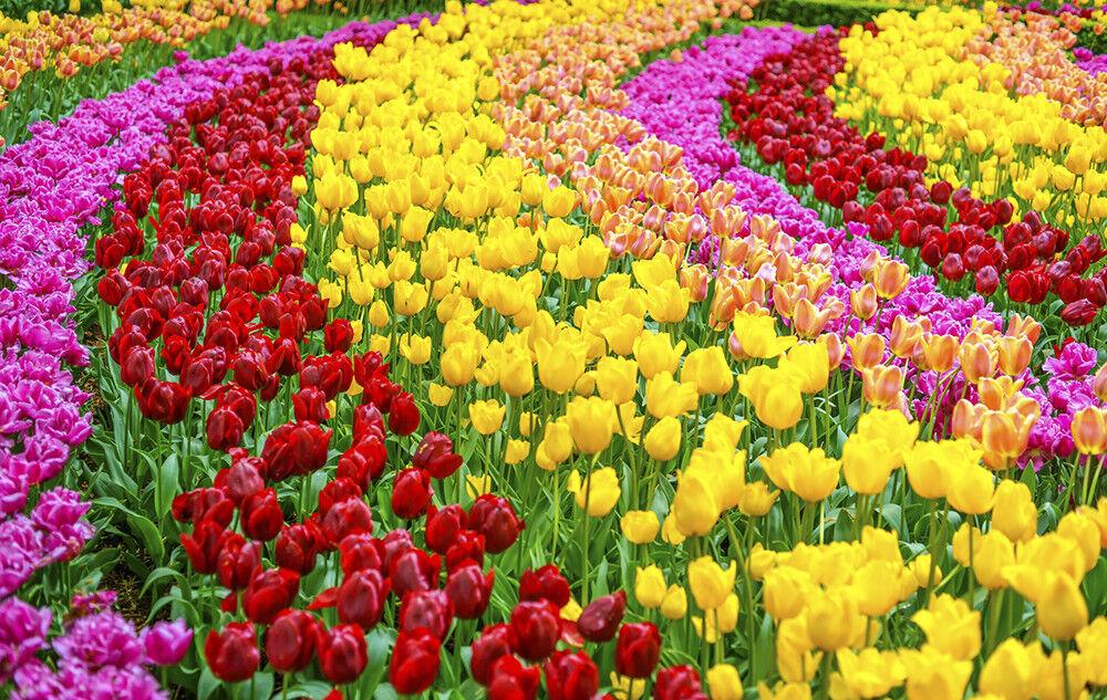 Fototapete Tulpen Frühling Blaumen - Kleistertapete oder Selbstklebende Tapete
