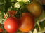 Tomato-Early-Cascade-Best-Eating-Saladette-Varieties-on-the-Market-15-Seeds