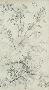 Botanische-Studie-heimischer-Wiesenblume-Mitte-19-Jhd-Bleistiftzeichnung