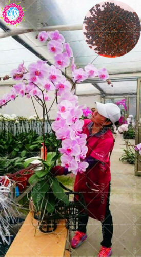 Phalaenopsis Gaint Orchid  flower  Big flowers for rooms indoor Orchid alive