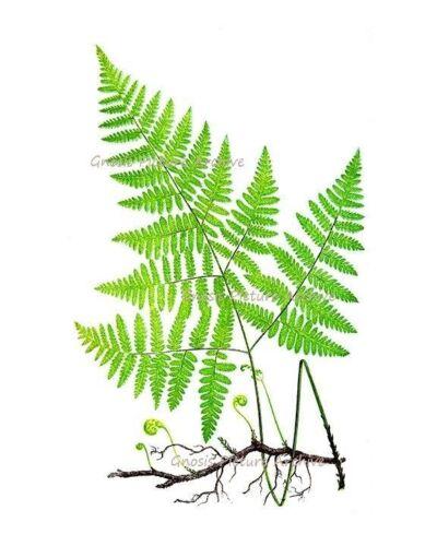Fougère Motifs Set 6 sans Cadre Vert Antique Botanique Victorien Art Mural Décor
