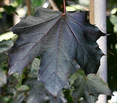 Ahorn Blutahorn Acer platanoides 'Faassen's Black' 125-150 cm im 7,5 Liter Topf