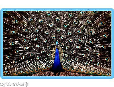 Fabulous Peacock  Refrigerator Magnet Gift Card Insert