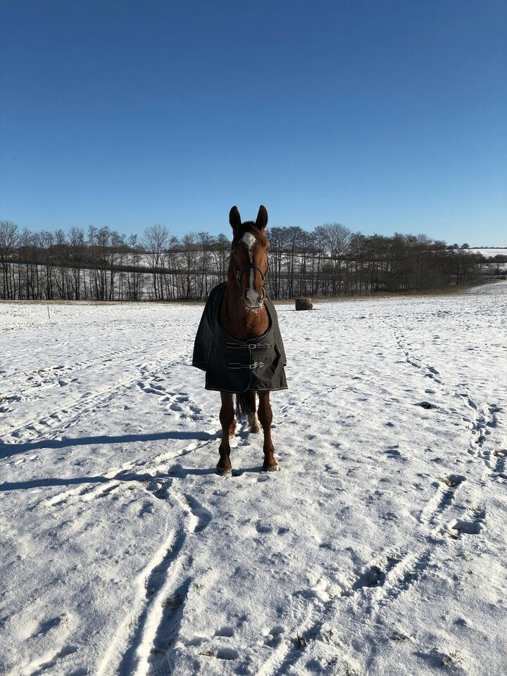 Blanding - varmblod, vallak, 3 år